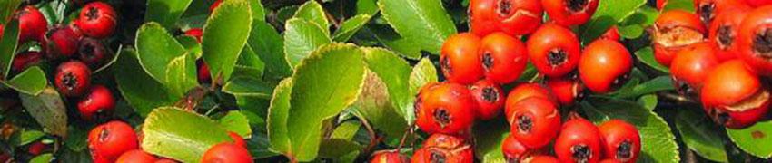 Bladhoudende haagplanten kopen