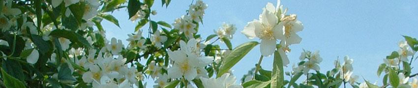 Boerenjasmijn als haagplant