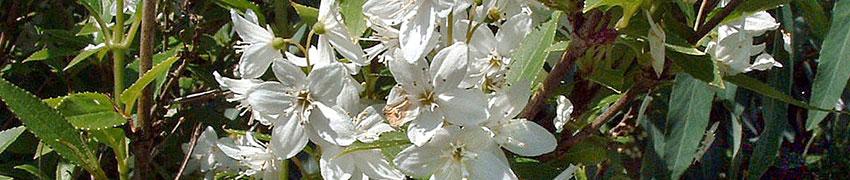 Bruidsbloem als haagplant