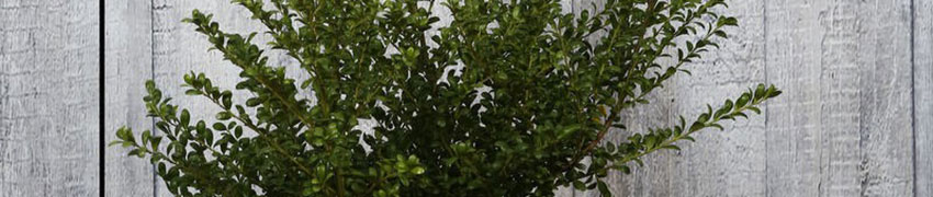 Hoe buxusvervanger Ilex crenata 'Convexa' verzorgen?