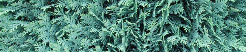 Blauwe Californische cipres als haagplant