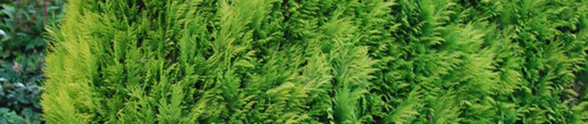 Californische cipressen bestellen