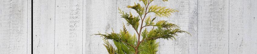 Californische cipressen: verzorging