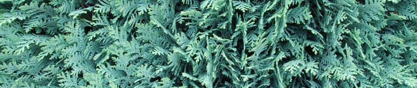 Coniferen als haagplant