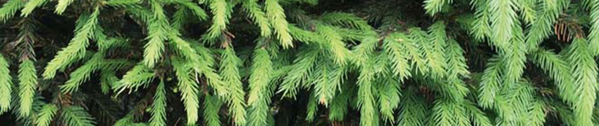Fijnspar als haagplant