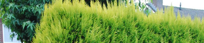 Gele Californische cipres bestellen