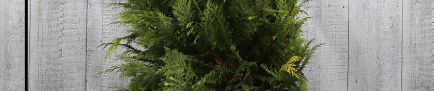 Gele Californische cipres 'Stardust' kopen