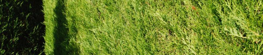 Gele Leylandii coniferen online kopen bij Haagplanten.net