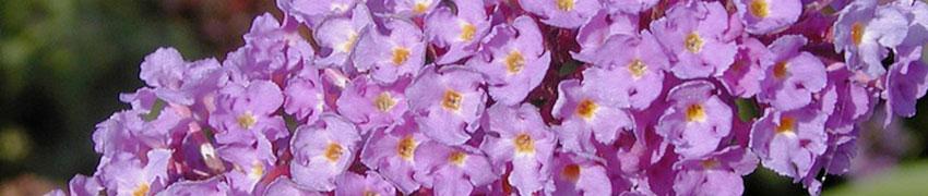 Haagplanten gemengd planten