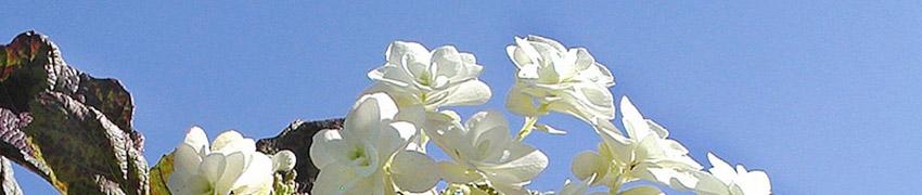 Geschiedenis hortensia