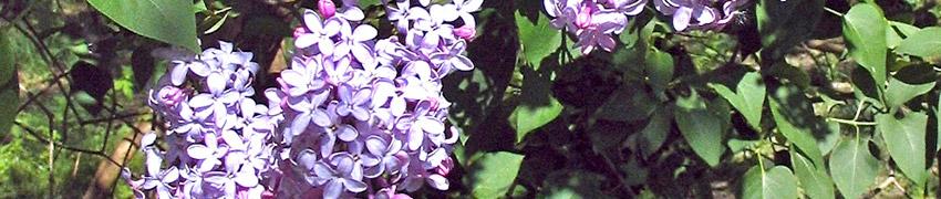 Gewone sering kopen bij Haagplanten.net