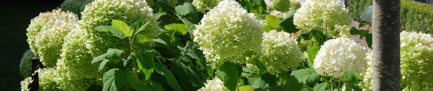 Hortensia als haagplant