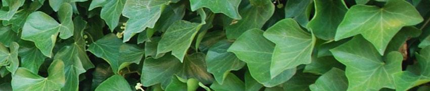Ierse klimop als haagplant