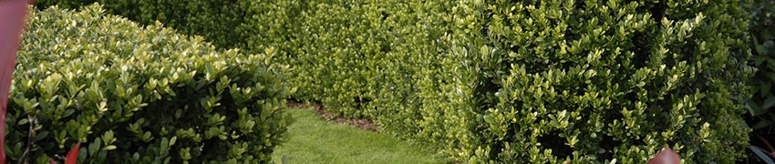 De Ilex crenata 'Dark Green': een populaire buxusvervanger