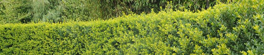 Ilex crenata: sterk buxusalternatief