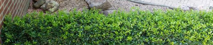 Ilex maximowicziana 'Kanehirae' als buxusvervanger