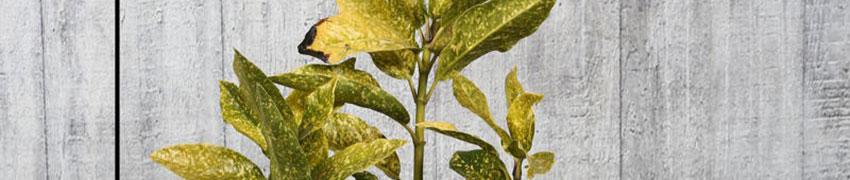 Japanse broodboom 'Variegata' planten