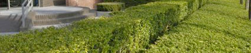 Japanse hulst 'Blondie' online kopen bij Haagplanten.net