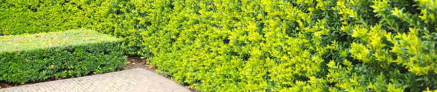 Japanse hulst 'Green Hedge' in uw tuin