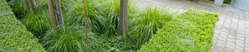 Japanse hulst 'Blondie': een aanwinst voor uw tuin