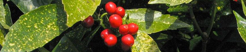 Japanse broodboom 'Variegata'