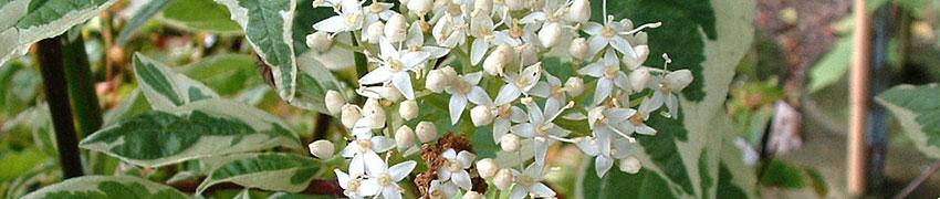 Kornoelje als haagplant
