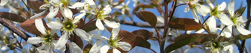 Krentenboompje als Haagplant