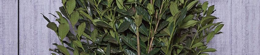 Laurier 'Elly'® planten en verzorgen