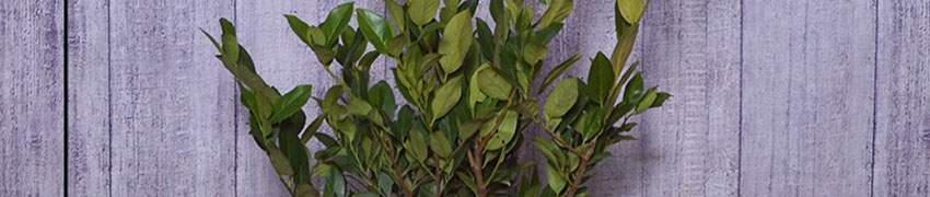 Laurier 'Mano' planten en verzorgen