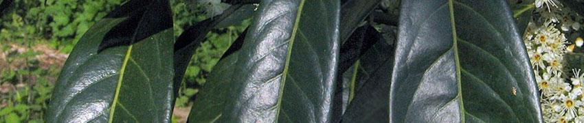 Laurierhaag met bloemenaccent