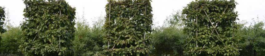 Leibomen in blokvorm voorgeleid