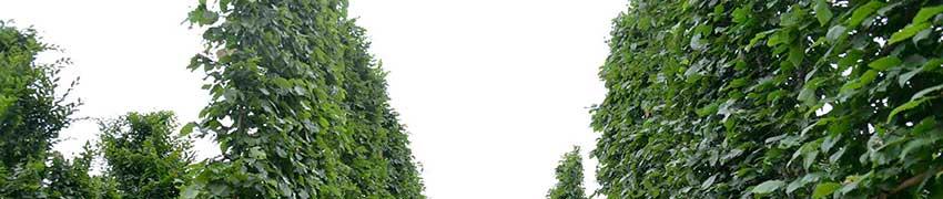 Leibomen in schermvorm online