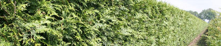 Levensboom als haagplant