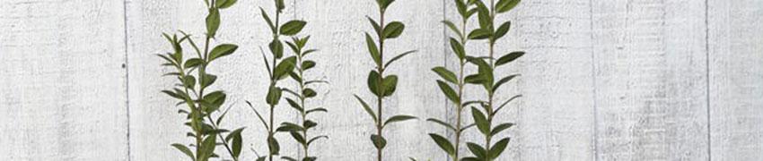 Liguster 'Atrovirens' online kopen op Haagplanten.net
