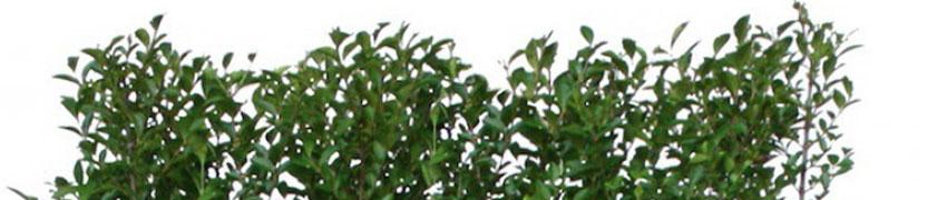 Liguster 'Atrovirens' in de tuin