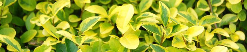 Liguster als haagplant