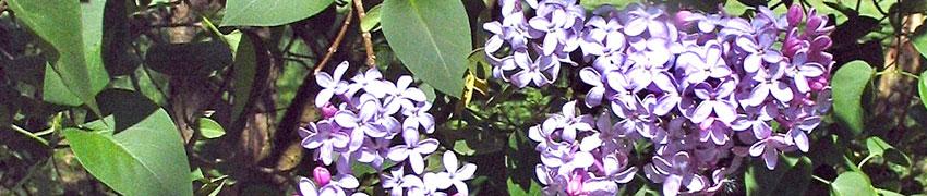 Planten voor bijen en vlinders op Haagplanten.net