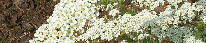 Planten voor bijen en vlinders