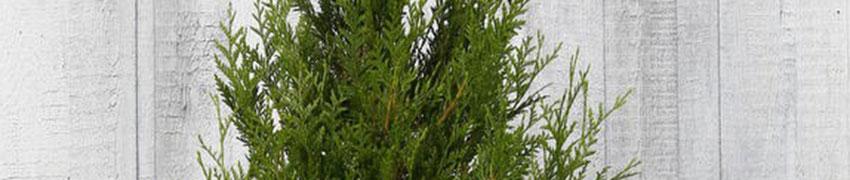 Reuzenlevensboom 'Atrovirens' op Haagplanten.net