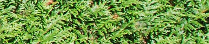 Reuzenlevensboom 'Atrovirens' in de tuin