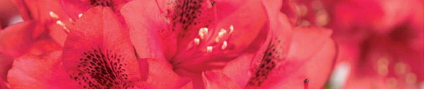 Rhododendron als haagplant