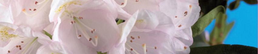Rhododendron online kopen bij Haagplanten.net