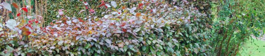 Rode beuk bij Haagplanten.net