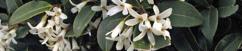 Schijnhulst kopen bij Haagplanten.net
