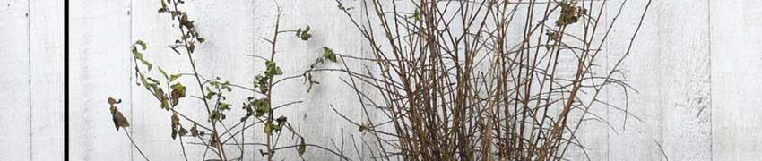 Sleedoorn kopen bij Haagplanten.net