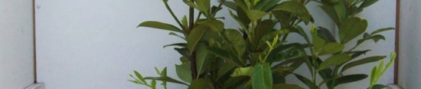 Sierlijke, snelgroeiende laurierhaag