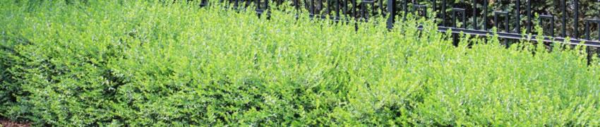 Struikkamperfoelie planten