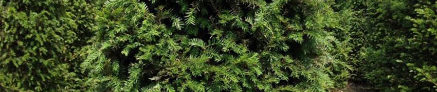 Taxus baccata online kopen op Haagplanten.net