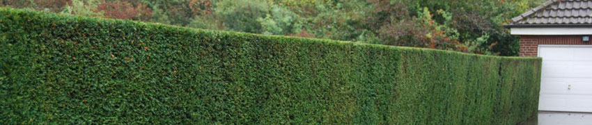 Taxus baccata planten