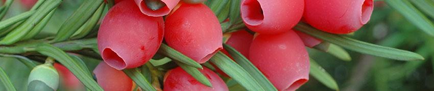 Waar u op moet letten voor u de Taxus 'Hicksii' plant